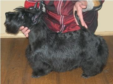 The Scottish terrier. A kennel Scottish terriers Ot SofiiEleny. Скотч терьер. Питомник Скотч терьеров от Софии Елены.